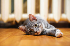 Domestic lazy short-haired young whiskered cat lying and stretch Stock Image