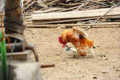 Domestic life. Rooster and hen in a rural yard Royalty Free Stock Images