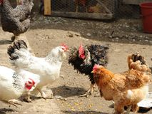 Domestic life. Roosters and hens in a rural yard Stock Photo