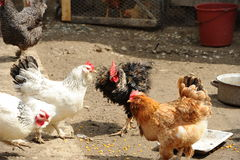 Domestic life. Roosters and hens in a rural yard Royalty Free Stock Photos