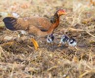 Domestic livestock hen chicken feeding with baby chicken on fiel Royalty Free Stock Photos