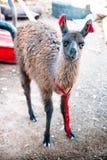 Domestic Llama in Bolivia Stock Photos