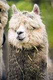 Domestic Llama Eating Hay Farm Livestock Animals Alpaca Royalty Free Stock Photography