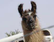 Domestic Llama in Farmyard Rural America Stock Photo