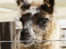Domestic Llama in Farmyard Rural America Royalty Free Stock Image