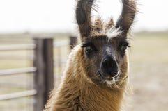Domestic Llama in Farmyard Rural America Stock Image