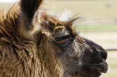 Domestic Llama in Farmyard Rural America Stock Photos