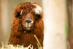 Domestic Llama Group Farm Livestock Animals Stock Images