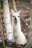Domestic Llama Laying Down Farm Livestock Animals Stock Photo