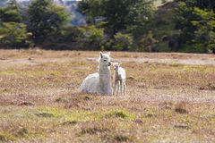 Domestic llama Royalty Free Stock Images