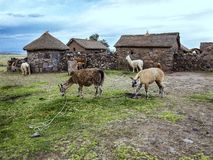 Domestic llamas, Peru Stock Image