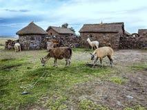 Domestic llamas, Peru Stock Image