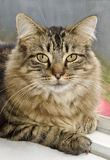 Domestic long-haired feline. Close-up of a domestic long-haired cat on window sill Royalty Free Stock Photography