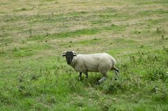 Male sheep ram in a field. A domestic male sheep known as a ram Latin name Ovis aries stock photos