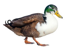 Domestic Mallard Stock Photo