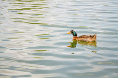 Domestic Mallard Duck Swimming in the Pond Royalty Free Stock Photography