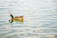 Domestic Mallard Duck Swimming in the Pond Royalty Free Stock Image