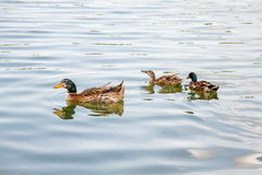 Domestic Mallard Ducks Swimming in the Pond Royalty Free Stock Photography