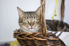 Domestic marble cat portrait, eye contact, cute kitty face, amazing lime eyes. Brown basket stock photo