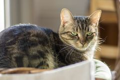 Domestic marble cat relaxing in sunlight, eye contact. Hairy pet Royalty Free Stock Photo