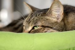 Domestic marble cat trying to fall asleep in green cat bed. Hairy pet Royalty Free Stock Photo