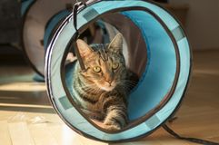 Domestic marble tiger cat lurking in blue and grey cat tunnel, eye contact. Comical pet Stock Photography