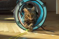 Domestic marble tiger cat lurking in blue tunnel. Domestic marble tiger cat lurking in blue and grey cat tunnel, eye contact, playing with yellow rope Royalty Free Stock Image