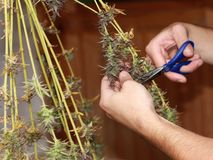 Domestic marijuana harvest. Harvest marijuana at home - cutting with scissors stock photography