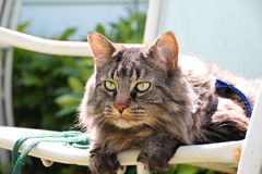 Domestic Medium Hair Cat in Summer Sun Stock Images