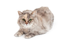 Domestic Medium Hair Mixed Breed Tortie Cat Royalty Free Stock Images