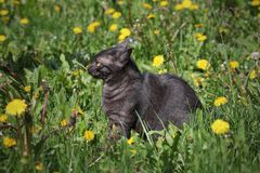 Domestic mix breed cat at grass. Young black domestic mix breed cat at meadow ready to attack Royalty Free Stock Images
