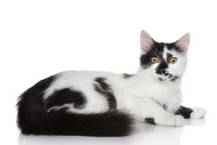 Domestic mix breed cat Royalty Free Stock Image