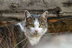 Domestic mottled cat Royalty Free Stock Photo