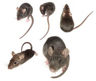 Domestic mouse collection Stock Photos