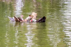 Domestic Muscovy duck Cairina moschata swimming in a pond stock photo