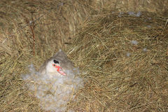 Domestic Muscovy Duck Royalty Free Stock Photo
