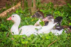Domestic Muscovy ducks in the open farming. The Muscovy Duck (Ca Stock Photography