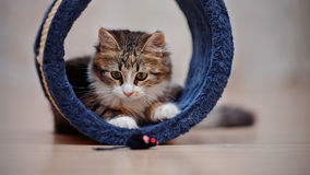Domestic nice multi-colored kitten plays Royalty Free Stock Image