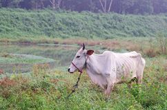 Domestic ox in the wetland Royalty Free Stock Images