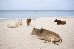 Domestic oxes on the beach, Uppuveli, Sri Lanka Stock Photo