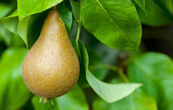 Domestic pear on orchard tree Stock Photo