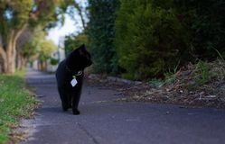 Domestic pet black cat casually walking on pedestrian path royalty free stock photo