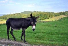 Domestic Pet - Donkey Royalty Free Stock Images