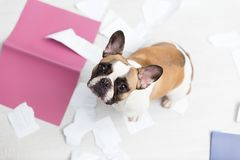A domestic pet has taken on a home. Torn documents on white floor. Pet care abstract photo. Small guilty dog with funny face. A domestic pet has taken on a home royalty free stock photo
