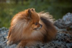 Domestic pet, red spitz lying on the stones on a green background turned his head profile stock photos