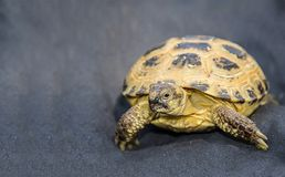 Domestic pet tortoise on dark blue textile background close-up view carefully intrigued. Domestic pet tortoise on dark blue textile background close-up view Royalty Free Stock Images