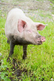 Domestic pig Stock Photography