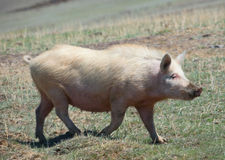 Domestic pig. Lives in freedom and her on this well Stock Photo
