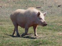 Domestic pig Stock Photo