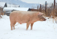 Domestic pig. Winter day in the snow Royalty Free Stock Photography